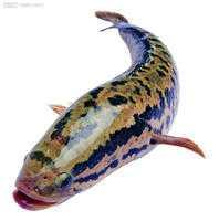 黑鱼不能和什么一起吃