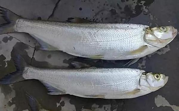翘嘴鱼不能和什么一起吃