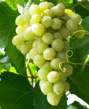 葡萄食物相宜相克表
